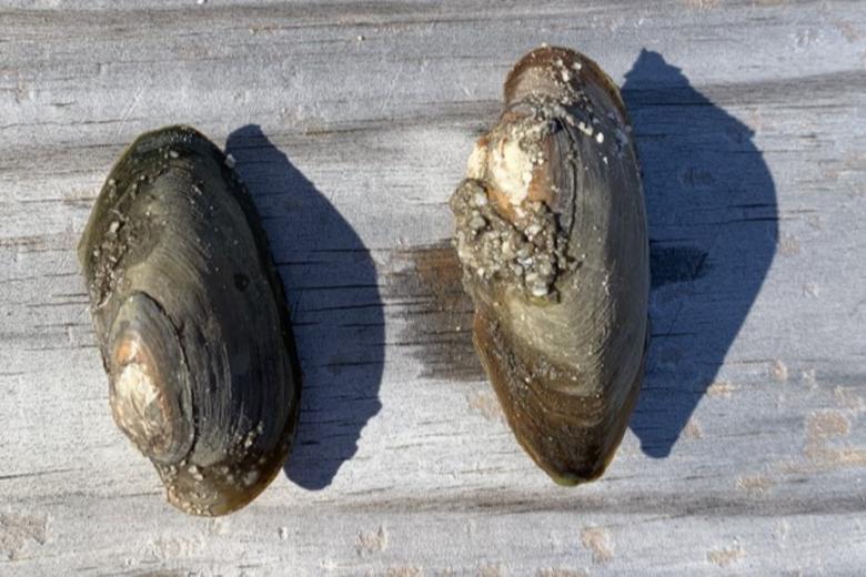 Two mussels sit side by side, each belonging to the species Eastern Pondmussel.