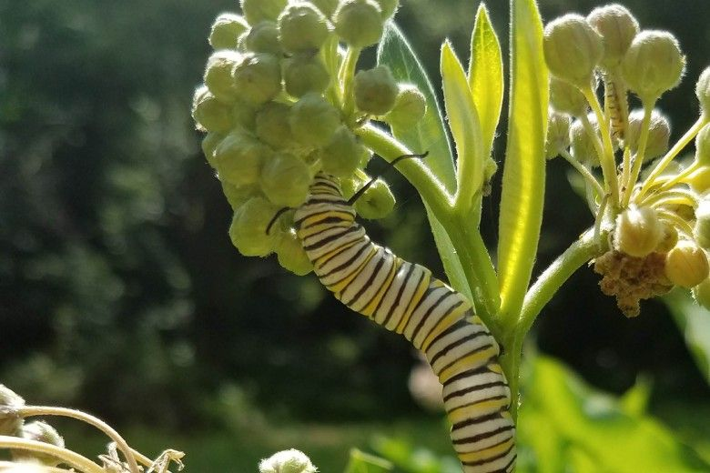 Caterpillar on a pollinator-friendly plant