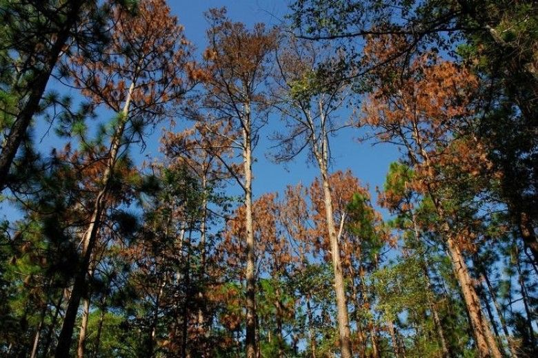 Southern Pine Beetle damage