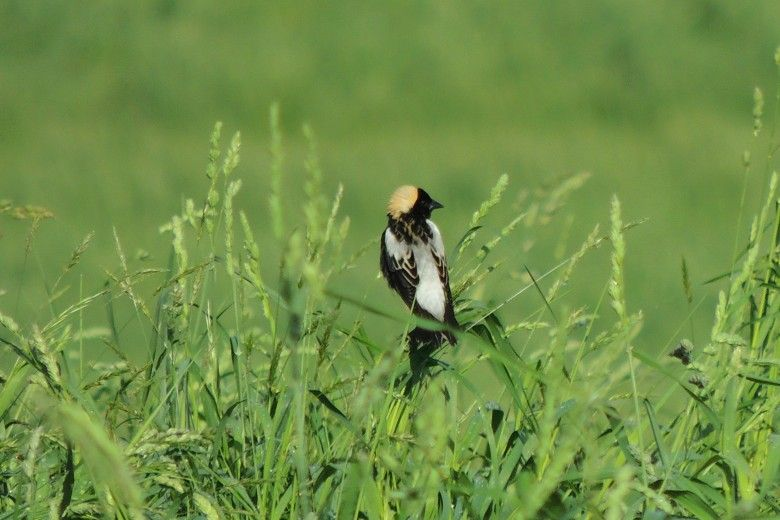 Bobolink, a native bird, in a grassy area by John Goodall of the Brandywine Conservancy