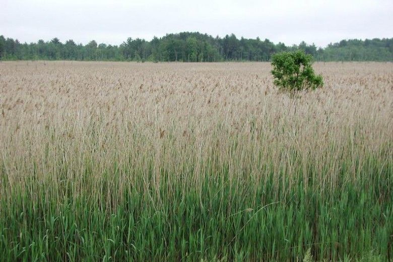 Field of Phragmites, Leslie J. Mehrhoff, University of Connecticut, Bugwood.org
