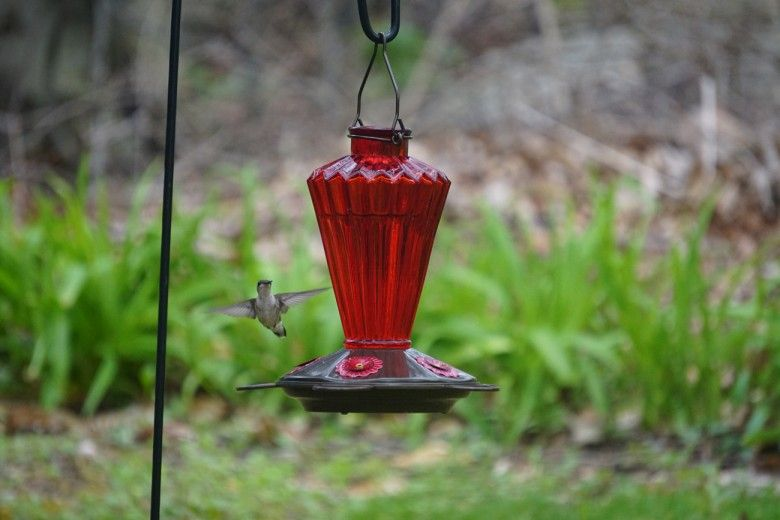 Hummingbird flying towards feeder. Photo by Melissa Reckner.