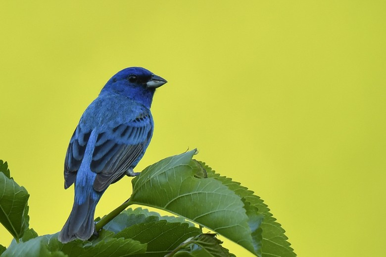 Indigo Bunting. Photo by Jim Moffett