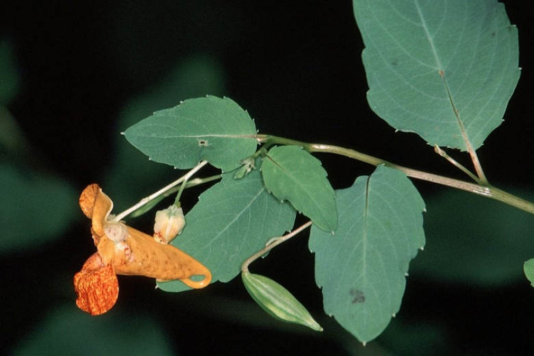 Jewelweed. Photo by Jerry A. Payne, USDA Agricultural Research Service, Bugwood.org