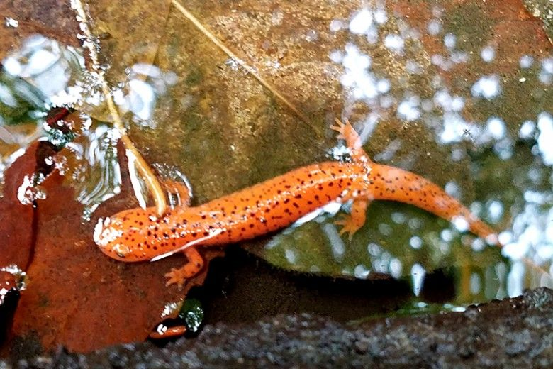 Northern-Red-Salamander