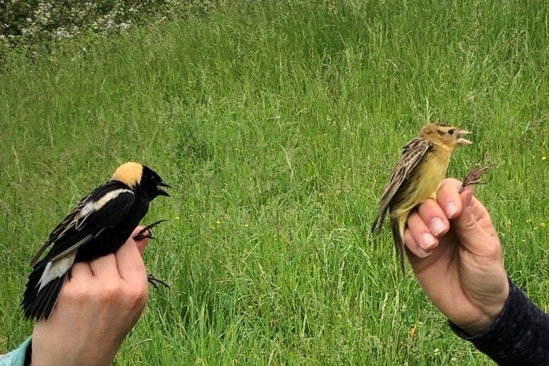 Male and female bobolinks. Photo by Alison Fetterman