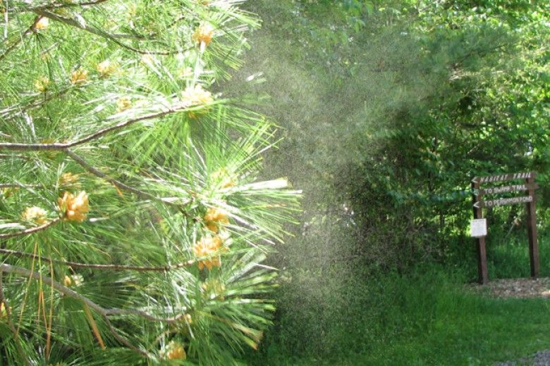 Wind-dispersed pollen from a pine tree. Image by Beatriz Moisset, via Wikimedia Commons.