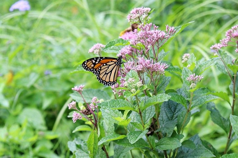 Monarch sipping nectar from Joe-Pye Weed (Eupatorium fistulosum) at our Monarch Migration Station