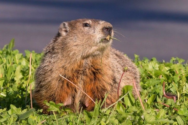A groundhog, gazing into a future brightened by human-marmot cooperation. (c) Ryan Jones via iNaturalist. Some rights reserved (CC BY-NC)