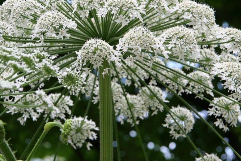 Giant hogweed flowers.