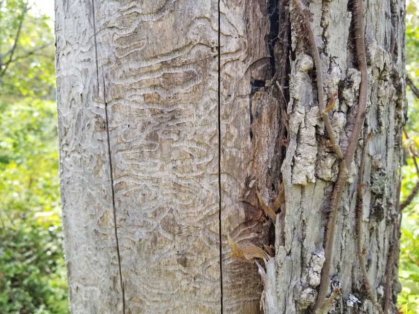 Emerald Ash Borer larvae tracks below bark. Photo by Melissa Reckner.