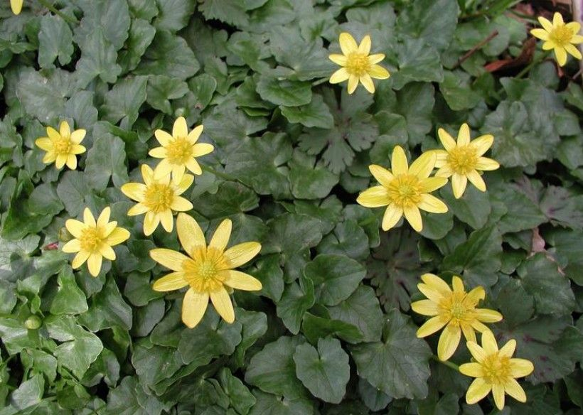 Lesser celandine flowers.  Leslie J. Mehrhoff, University of Connecticut, Bugwood.org