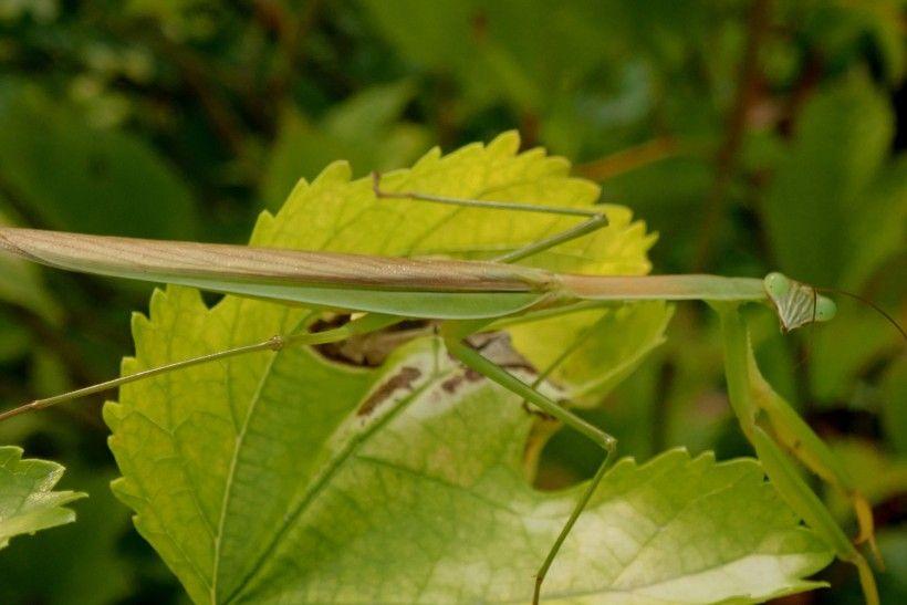 Chinese mantis (Tenodera sinensis). Image: Whitney Cranshaw, Colorado State University, Bugwood.org
