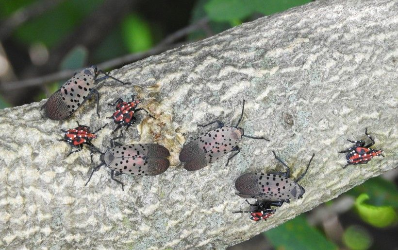 Spotted lanternfly in late nymph and adult phase. Photo by Richard Gardner, Bugwood.org