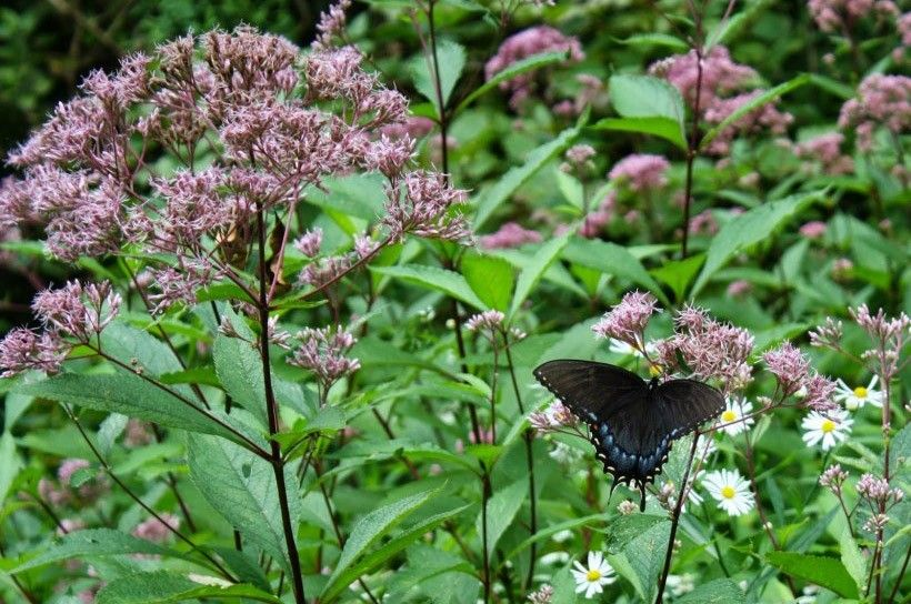 Black Swallowtail on Joe Pye Weed (Eupatoriadelphus fistulous)