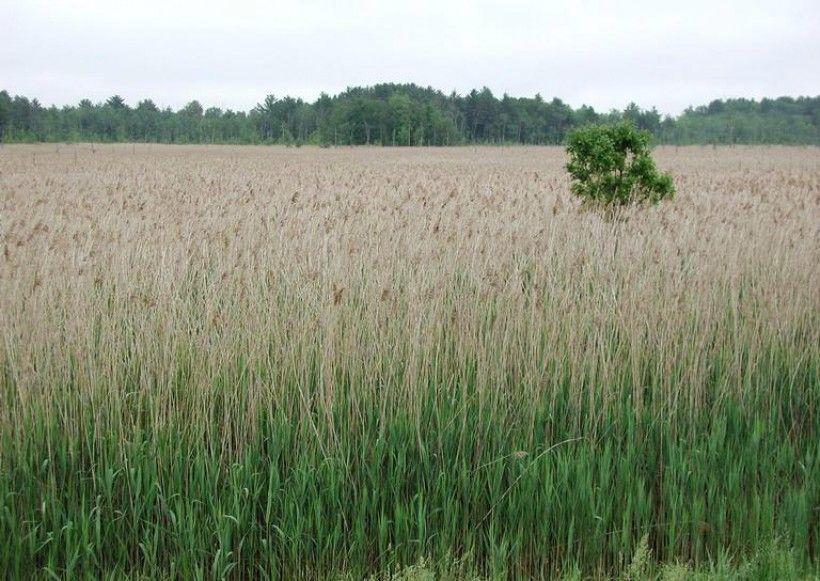 Field of Phragmites, Leslie J. Mehrhoff, University of Connecticut, Bugwood.org