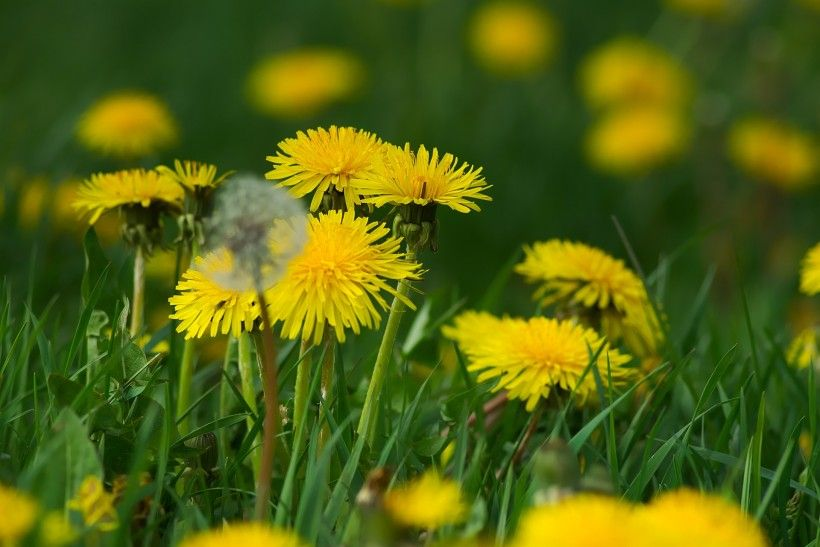 Close up of yellow dandelion flowers growing in the grass. Image by Hans Linde from Pixabay.