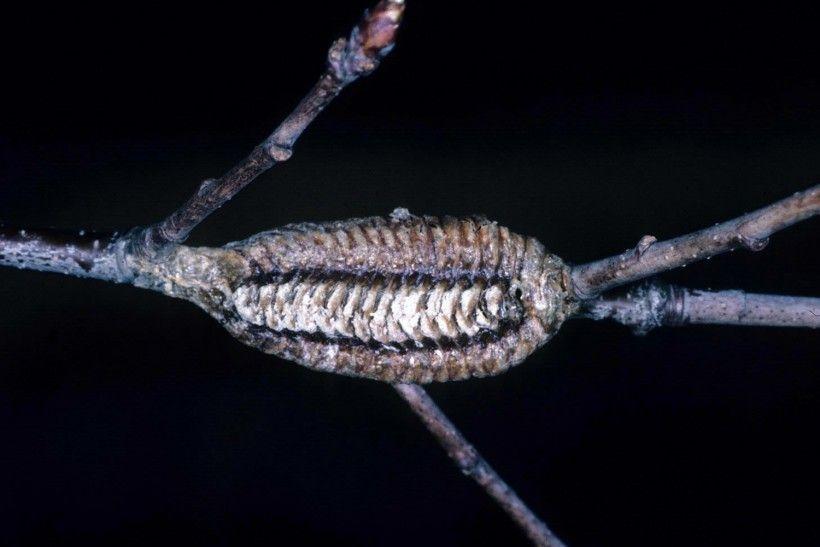 Carolina mantis ootheca. Image: Lacy L. Hyche, Auburn University, Bugwood.org