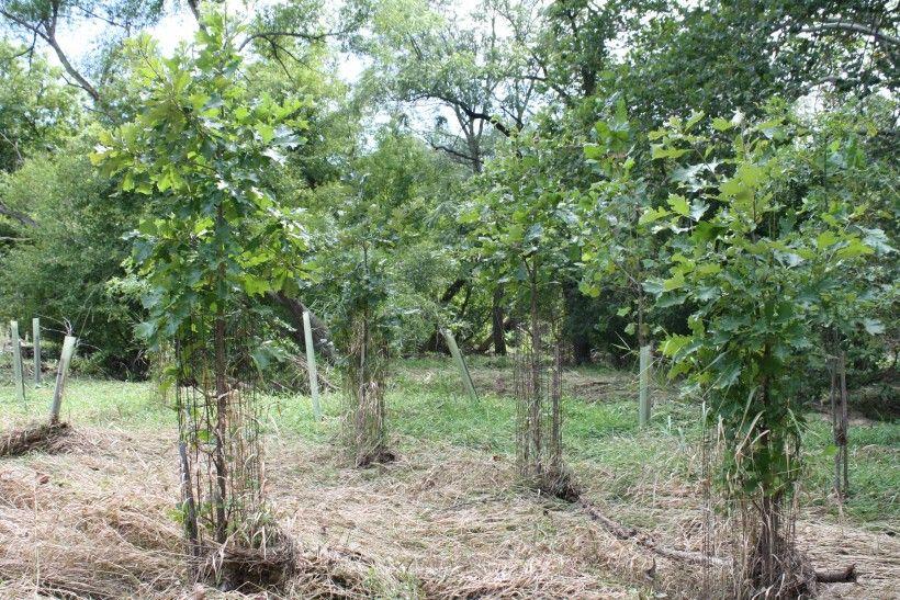 Riparian Buffer Planting Maturing Riparian Buffer