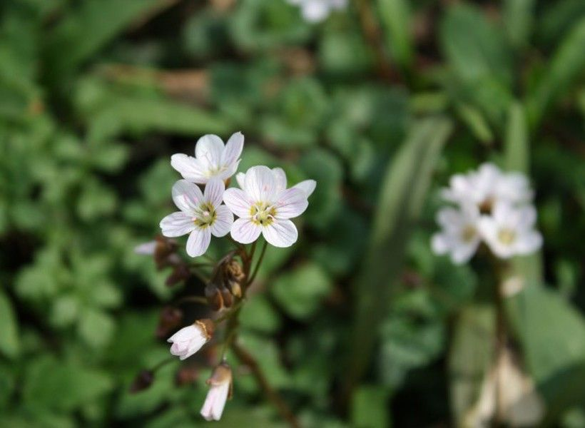 "Spring beauty (Claytonia virginica) is a ""spring ephemeral,"" a group of wildflowers whose leaves emerge before trees leaf out to take advantage of bright sunlight."