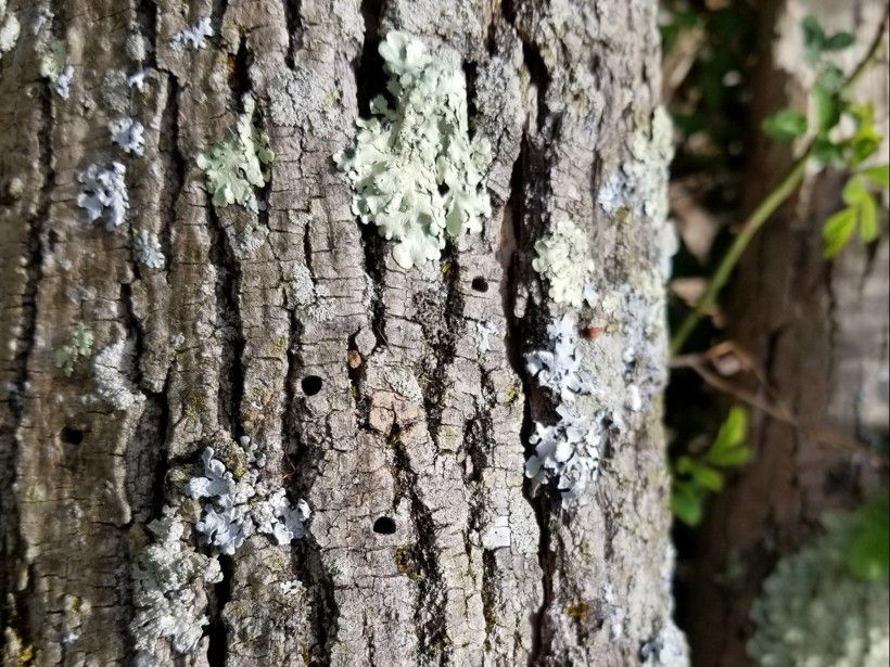 Emerald Ash Borer larvae leave distinctive D-shaped exit holes in ash trees. Photo by Melissa Reckner.