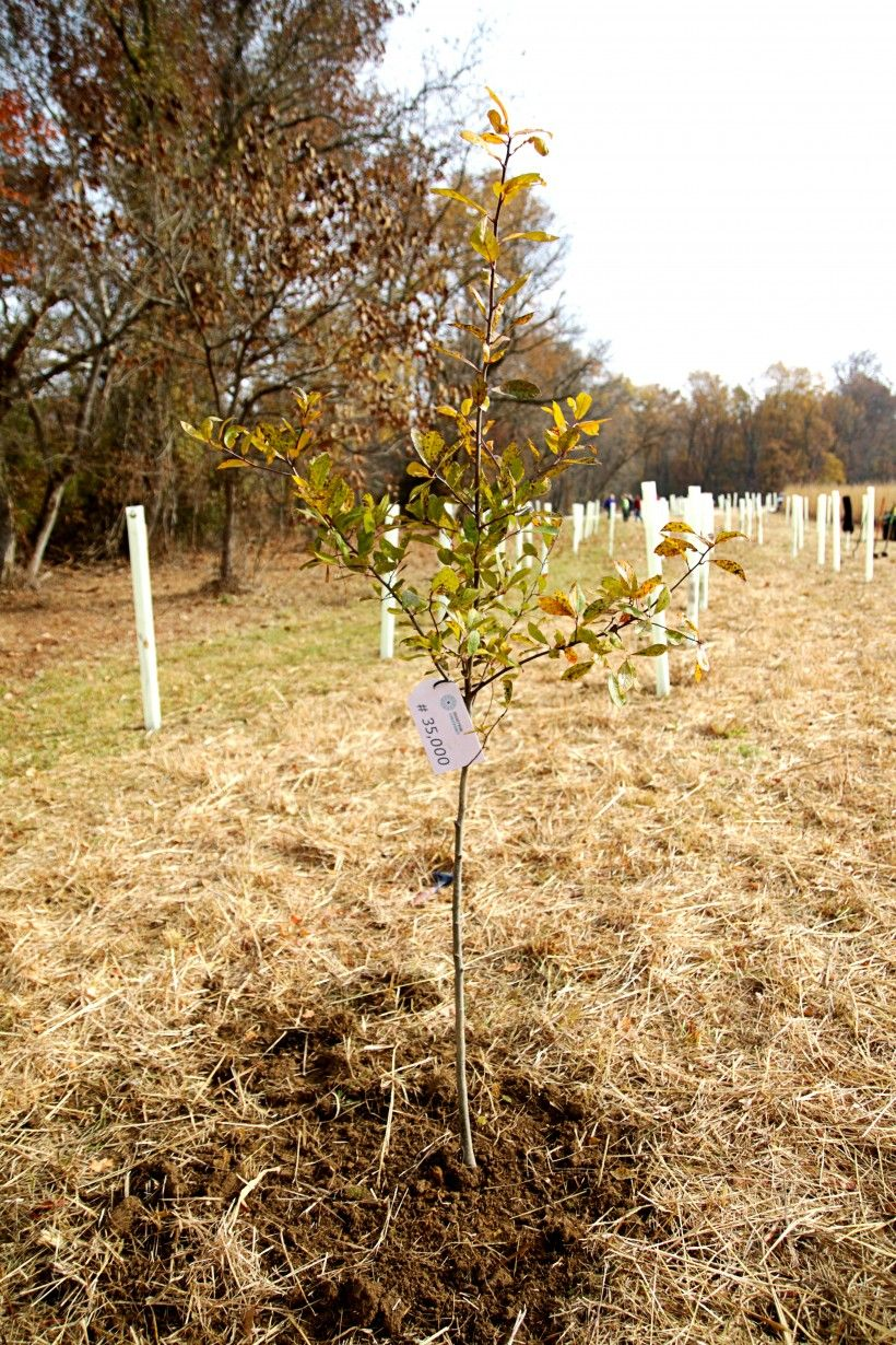 """Our goal is to plant 50,000 trees in celebration of the Brandywine Conservancy's 50th anniversary (""""50 by 50"""") in 2017. This is the 35,000th, planted in the fall of 2015."""