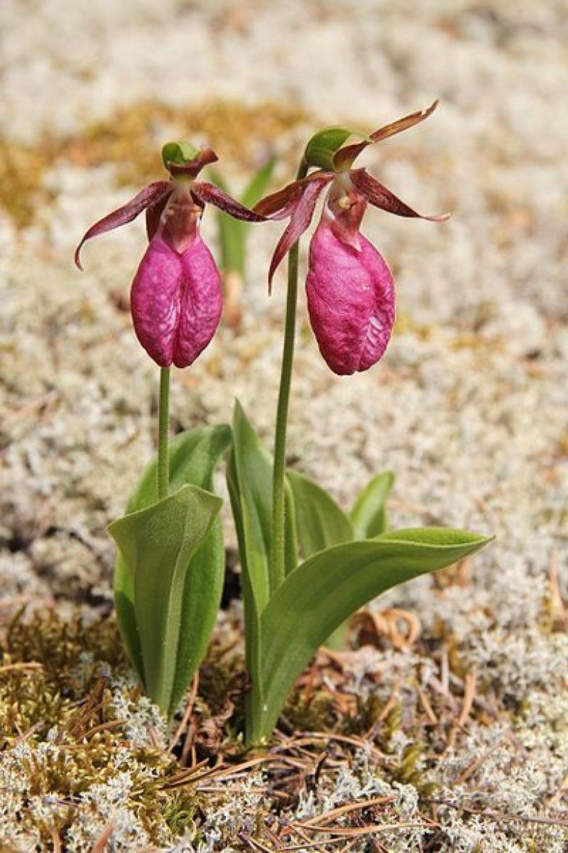 Pink lady's slipper (Cypripedium acaule). Image via Wikimedia Commons.