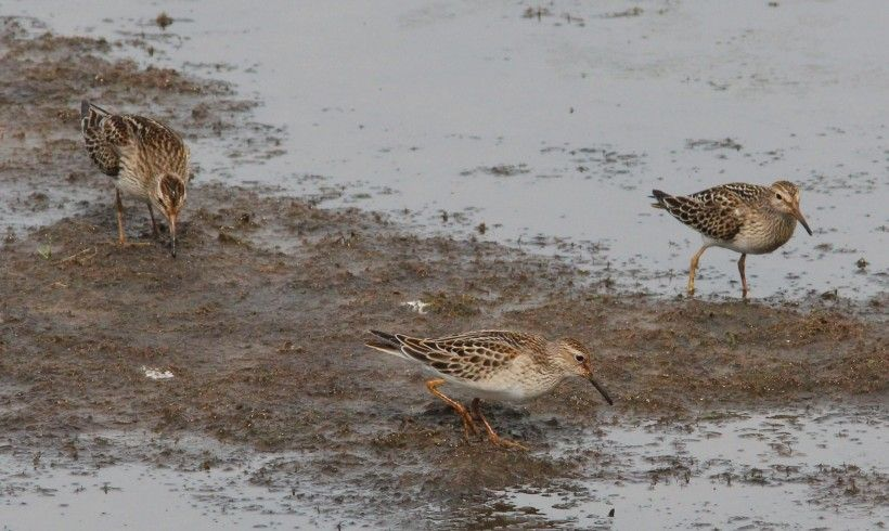 Pectoral sandpipers, by Holly Merker. All rights reserved.