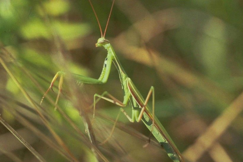 European mantis (Mantis religiosa), Image: Whitney Cranshaw, Colorado State University, Bugwood.org