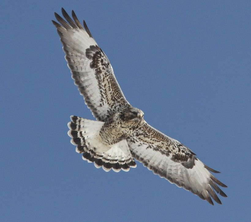 Rough-legged hawk, by Holly Merker. All rights reserved.