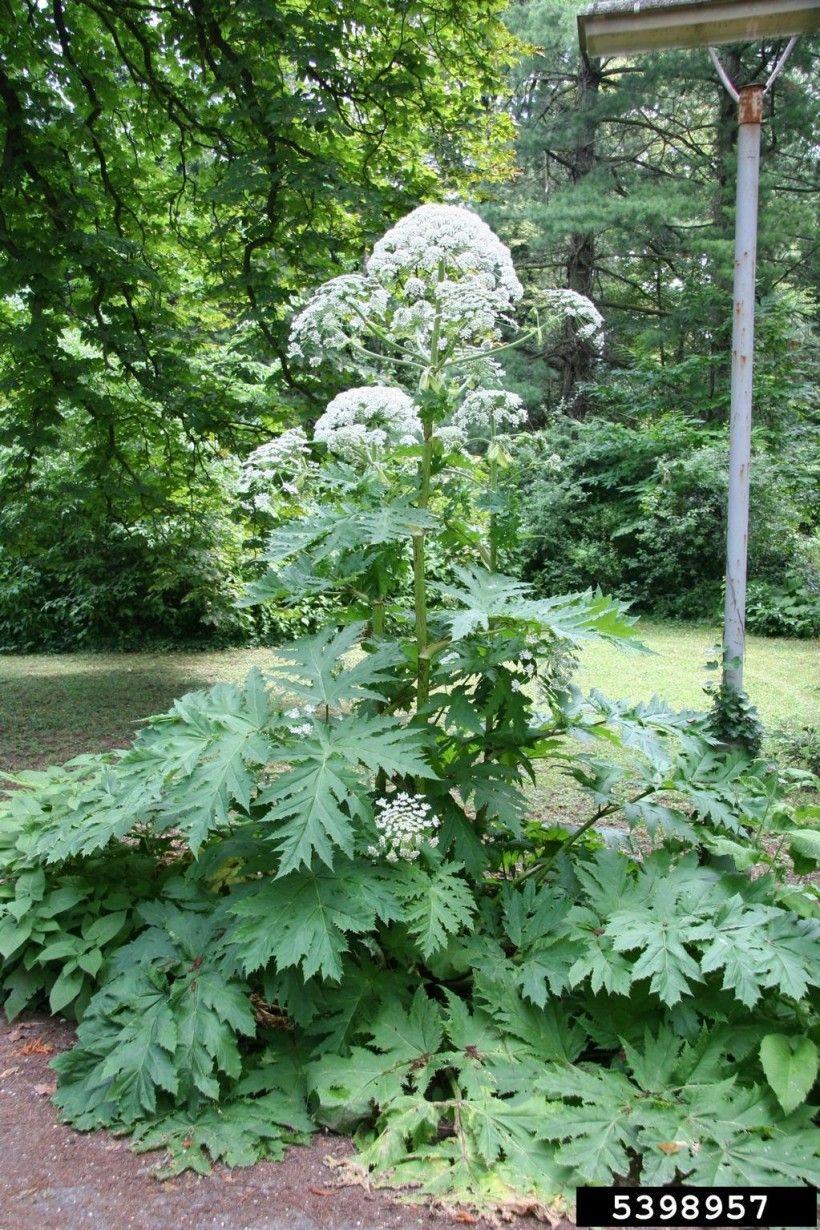 Giant hogweed (Heracleum mantegazzianum).