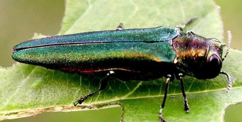 Emerald Ash Borer (Agrilus planipennis). Photo: Leah Bauer, USDA Forest Service Northern Research Station, Bugwood.org
