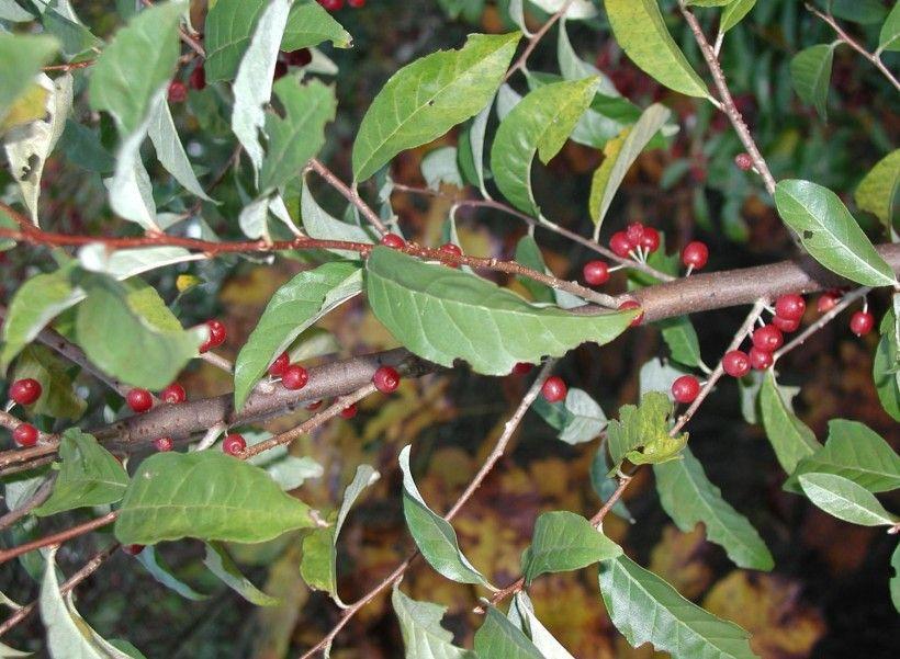 Autumn Olive (Elaeagnus umbellata). Photo by Leslie J. Mehrhoff, University of Connecticut, Bugwood.org
