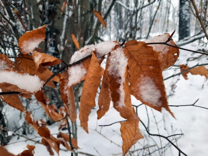 Beech tree leaves in the snow. Photo by Melissa Reckner.