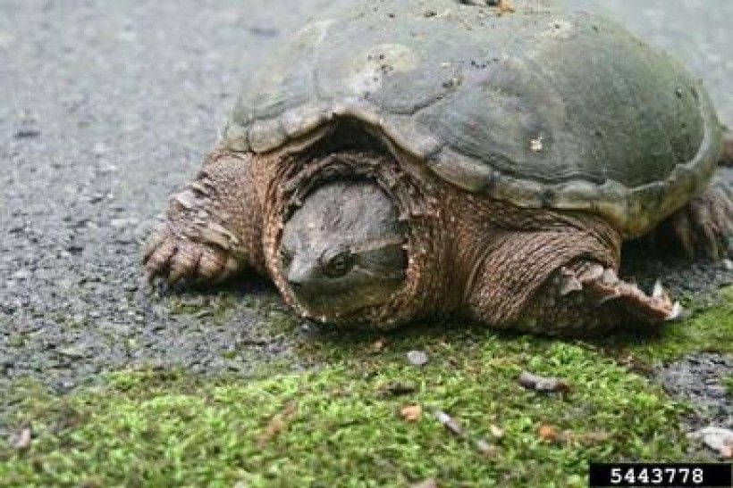 Common Snapping Turtle; Image from Bugwood.org by Chris Evans, University of Illinois