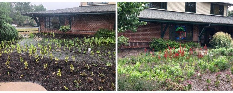 Rain garden, side by side, three months apart.