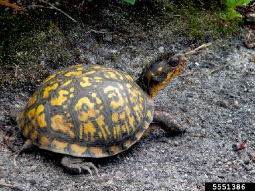 Eastern Box Turtle; Bugwood.org by Whitney Cranshaw, Colorado State University