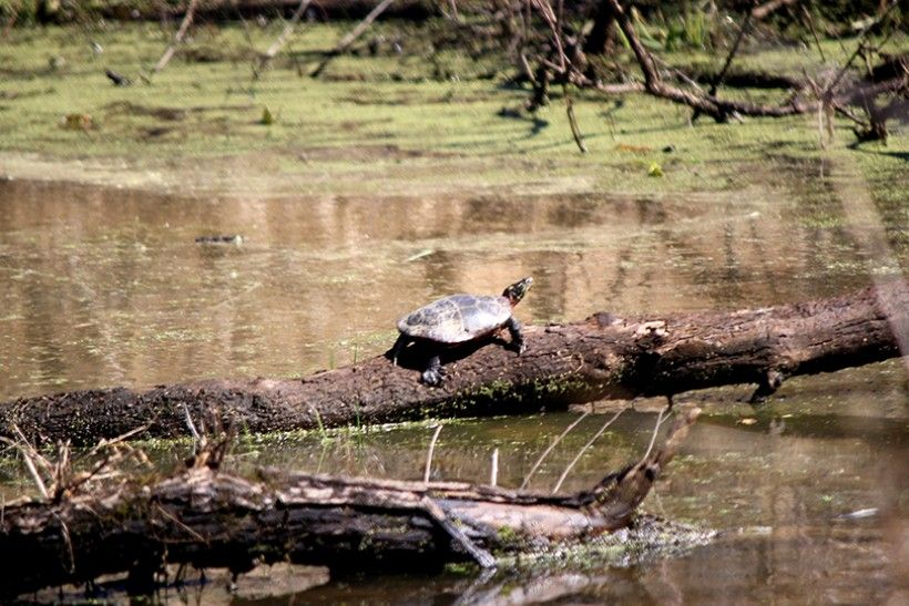 Eastern_Painted_Turtle
