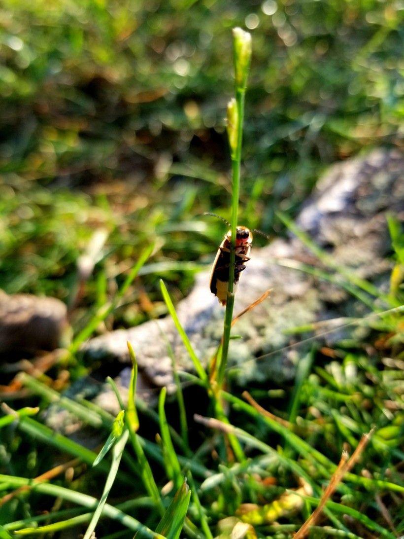 Firefly on a stem