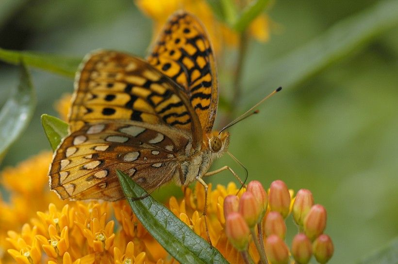 Great Spangled Fritillary butterfly sipping nectar from Butterfly Weed  (Asclepias tuberosa). Photo by Mark R. Gormel