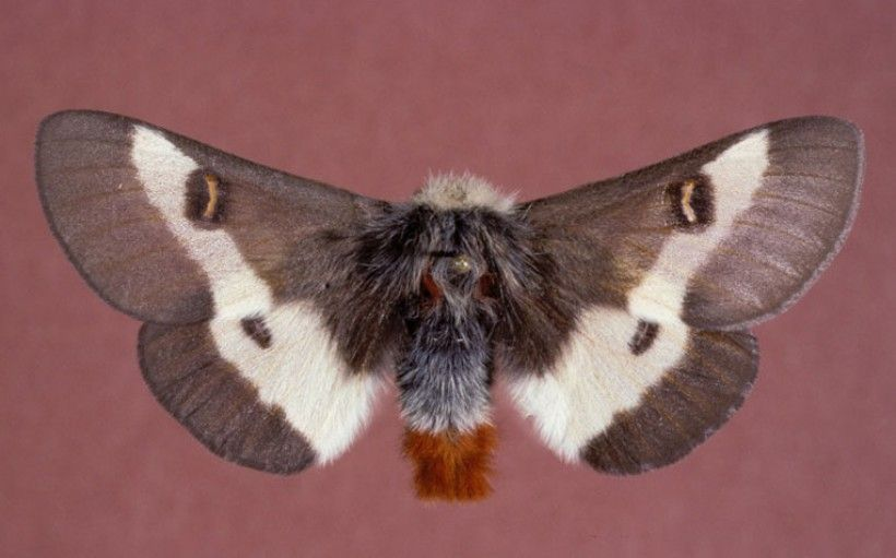 Hemileuca maia, or the Buck Moth, is a pollinating moth native to the Brandywine region. Photo: Gerald J. Lenhard, Louisiana State University, Bugwood.org