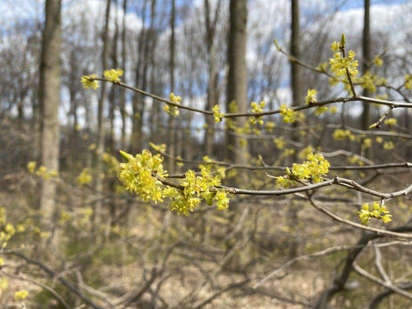 Spicebush shrubs flowering under leafless trees in early spring.