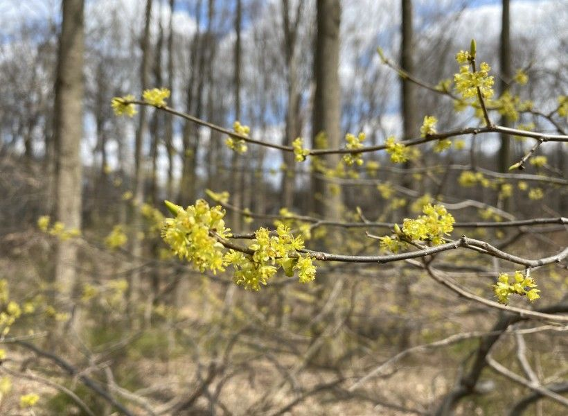 A native spring ephemeral, Spicebush (Lindera benzoin)—a shrub, not a wildflower—is common in wooded areas and thickets.
