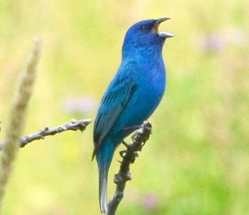 Blue bird calling