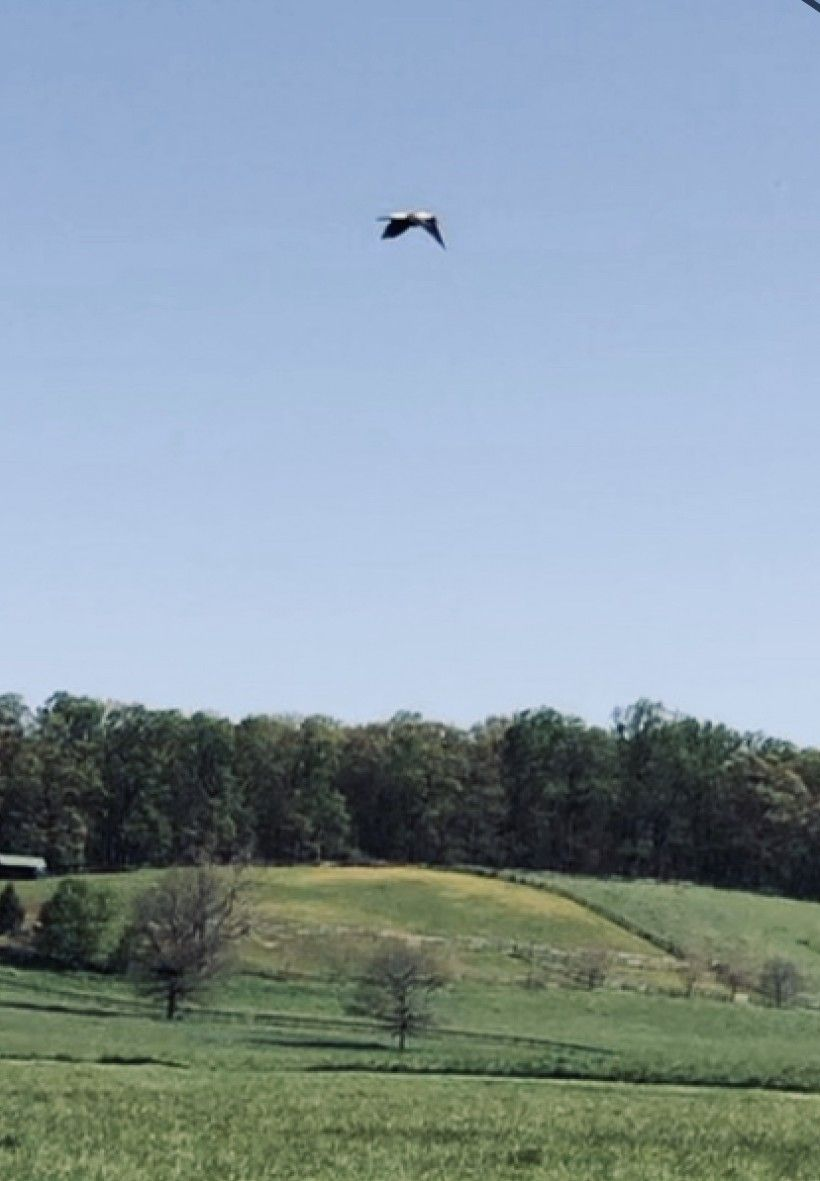 Bobolink flying over King Ranch lands in southern Chester County. Photo by Zoë Warner.