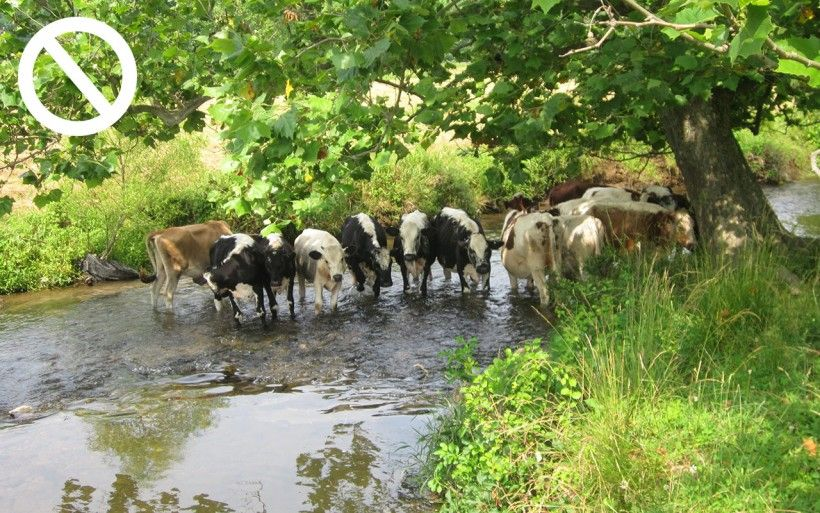 cows in stream
