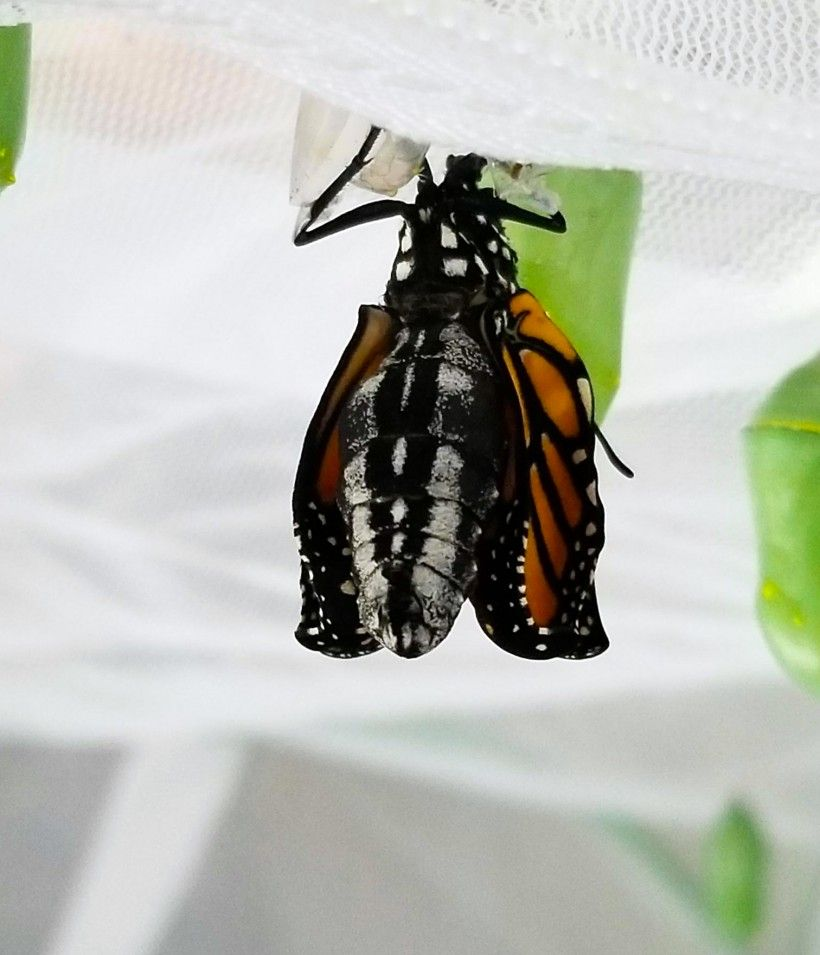 A monarch emerges from its chrysalis that was formed on the top of a butterfly enclosure. Photo by Melissa Reckner.