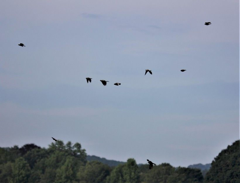 A flock of bobolinks flying together. Photo by Michelle Eshelman.