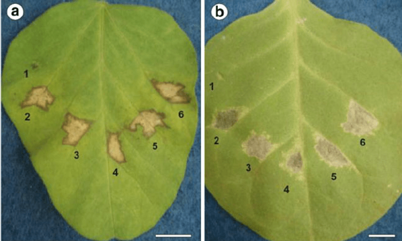 Tobacco (A) and soy leaves (B) showing hypersensitive response. Photo via Scientific Figure on ResearchGate.