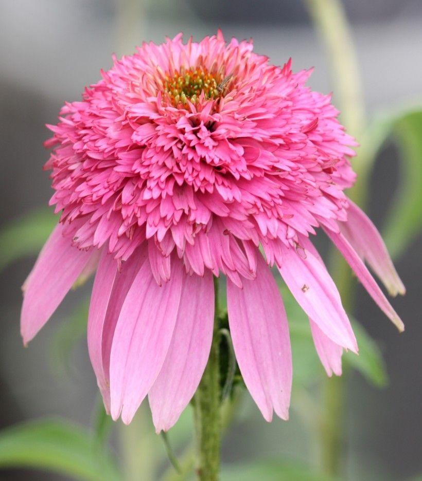 'Pink Double Delight' coneflower (Echinacea purpurea). Image via Wikimedia Commons.